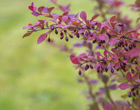 Branch of red pink berberis privet on blurred green background Royalty Free Stock Photo