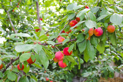 Branch with red plums Royalty Free Stock Photo
