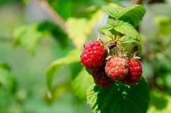 Branch of ripe raspberries in a garden royalty free stock images