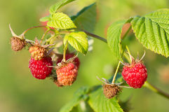 Branch of a red raspberry Royalty Free Stock Image