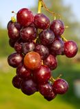 Branch of red ripe grapes Stock Photos