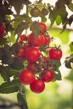 Branch of red ripe and green unripe tomatoes Royalty Free Stock Photos