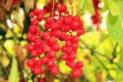Branch of red ripe schisandra Stock Image