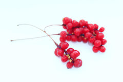 Branch of red ripe schisandra isolated. On the white stock photo