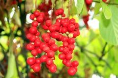 Branch of red ripe schisandra Stock Photo