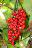 Branch of red ripe schisandra Royalty Free Stock Photography