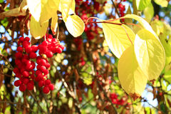 Branch of red ripe schizandra Royalty Free Stock Images