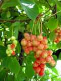 Branch of red ripe schizandra Stock Images