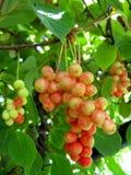 Branch of red ripe schizandra Stock Photo
