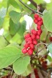 Branch of red ripe schizandra Stock Photos