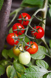 Branch of red ripe tomatoes Stock Photo