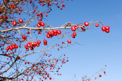 Branch with red ripe wild hawthorn Stock Images