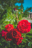 Branch of red rose Stock Photos