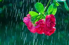 Branch with red rose flowers on the background of rain drops tracks.  stock images