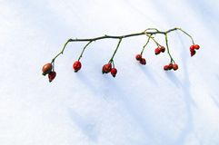 A branch with a red rose in the winter on the snow royalty free stock photos