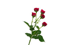 Branch of red roses. Isolated Royalty Free Stock Image