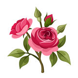Branch of red roses. Vector illustration. Royalty Free Stock Images
