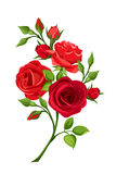 Branch of red roses. Vector illustration. Vector branch of red roses isolated on a white background Royalty Free Stock Image