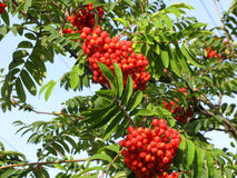 Branch of red rowan 2 Stock Images