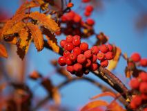 Branch with red rowan berries Royalty Free Stock Images