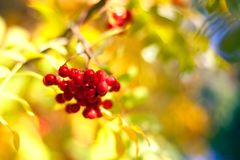 Branch of red rowan berries on yellow, blue and green autumn leaves bokeh background close up royalty free stock photography