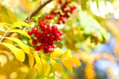 Branch of red rowan berries on yellow and green autumn leaves bokeh background close up royalty free stock photos
