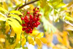 Branch of red rowan berries on yellow and green autumn leaves bokeh background close up royalty free stock photography