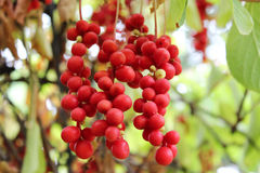 Branch of red schisandra Royalty Free Stock Photos