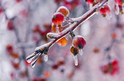 Branch with red small apples, ice-covered Royalty Free Stock Photo