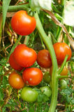 Branch of red tomato on vegetable garden Royalty Free Stock Photography