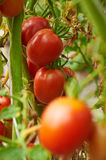 Branch of red tomato on vegetable garden Royalty Free Stock Images