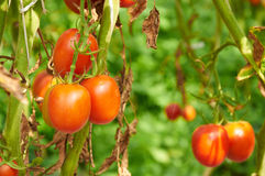 Branch of red tomato on vegetable garden Royalty Free Stock Photos