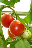 Branch of red tomato on vegetable garden Stock Image