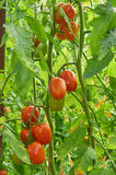 Branch of red tomato on vegetable garden Stock Photos