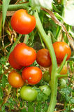 Branch of red tomato on vegetable garden Royalty Free Stock Image