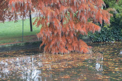 A branch of red tree in Giardini Margherita Park. Bologna, Emilia Romagna , Italy. Stock Images