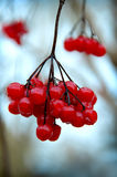 A branch of red viburnum berries in wintertime. Royalty Free Stock Images