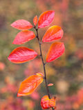 Branch with red wet autumn leaves Royalty Free Stock Photography