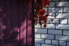 A branch of red wild grapes on a brick wall background. stock photos
