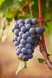 Branch of red wine grape royalty free stock image