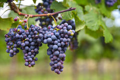 Branch of red wine grapes Royalty Free Stock Photos