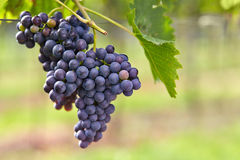 Branch of red wine grapes Stock Photos