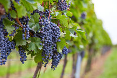 Branch of red wine grapes Royalty Free Stock Photography