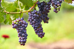 Branch of red wine grapes stock images