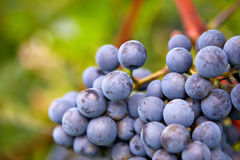 Branch of red wine grapes Stock Image