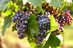 Branch of red wine grapes Royalty Free Stock Image
