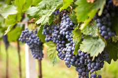 Branch of red wine grapes Royalty Free Stock Images