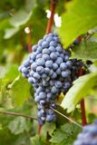 Branch of red wine grapes Stock Photography
