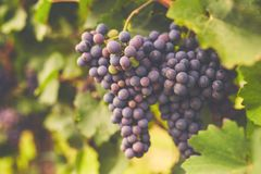 Branch of red wine grapes. In the vineyard stock images