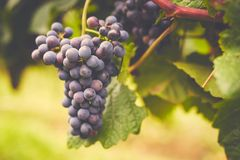 Branch of red wine grapes. Toned stock image